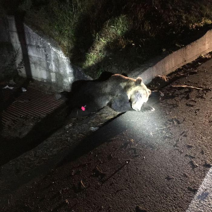 Orso investito e ucciso a Roccaraso