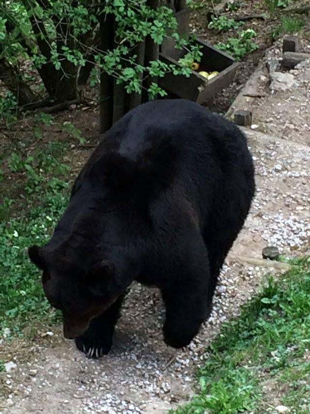 Bruno, l'orso che aggredì il suo custode nel centro visita del Parco D'Abruzzo   VIDEO