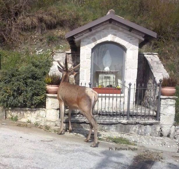 Opi, scelto il nome del cervo 'ambasciatore social'   VIDEO
