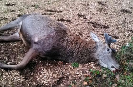 Cervo ucciso a Gioia dei Marsi: scattano le perquisizioni della Forestale