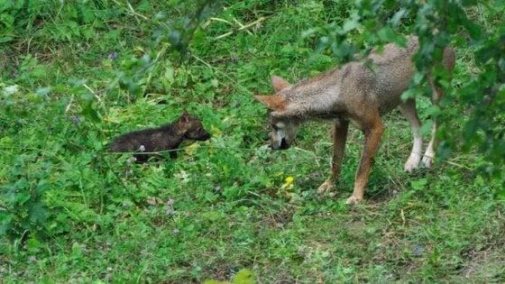 """Parco d'Abruzzo, i cinque cuccioli di lupo """"uccisi da un altro animale"""""""
