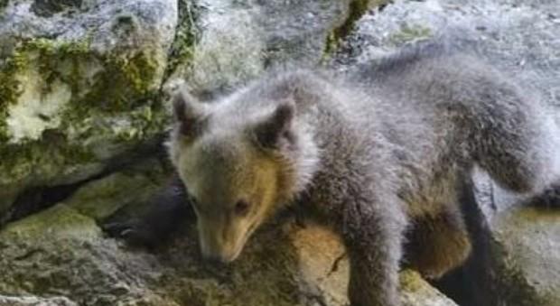 L'orsa Morena ha superato l'inverno
