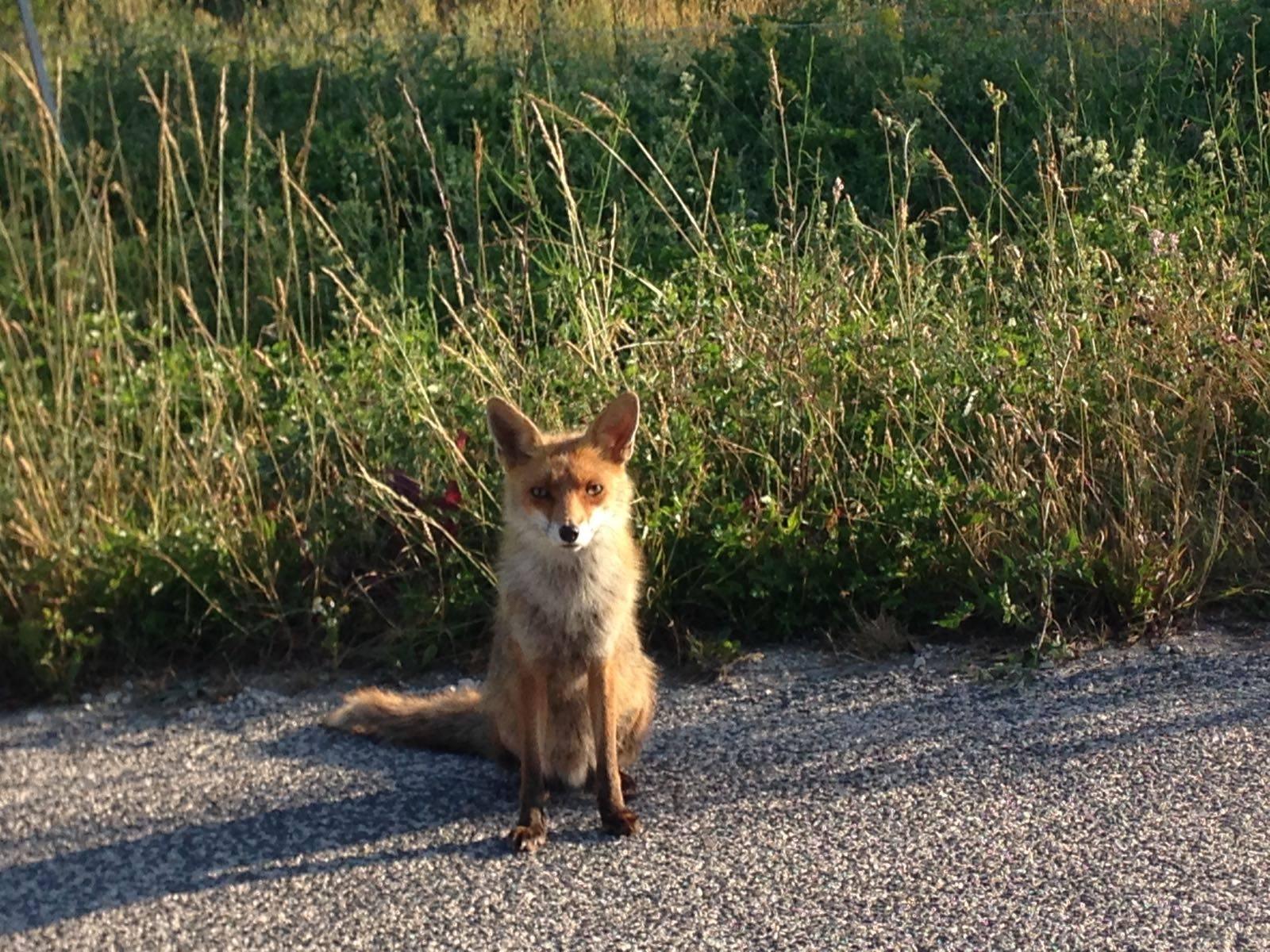 Massa d'Albe, ecco la vanitosa volpe che aspetta lo scatto dei turisti