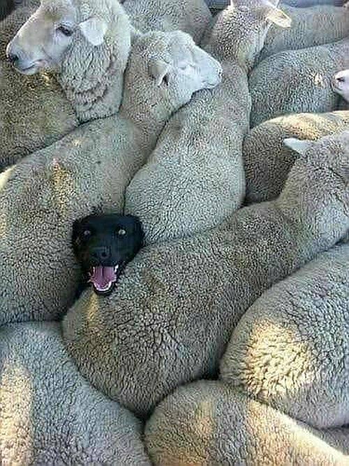 Borzellone, il cane 'incastrato' in un gregge di pecore spopola su Facebook