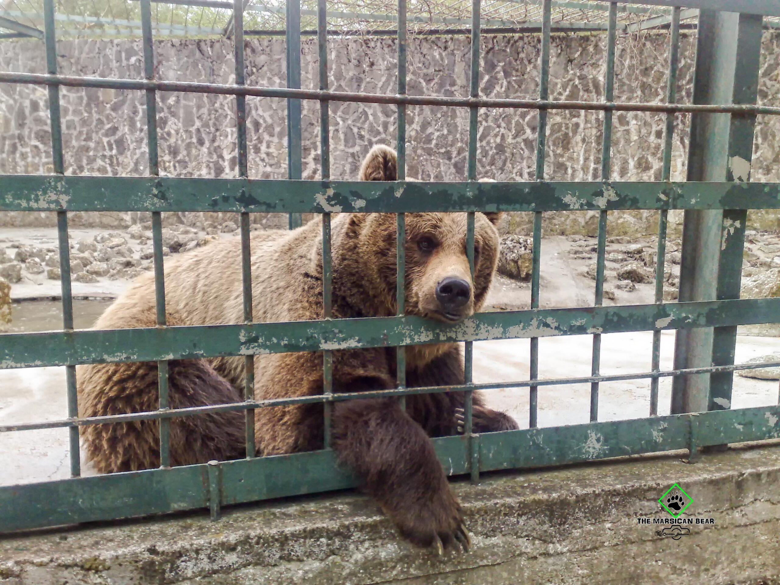Orso bruno marsicano muore durante un'operazione di cattura