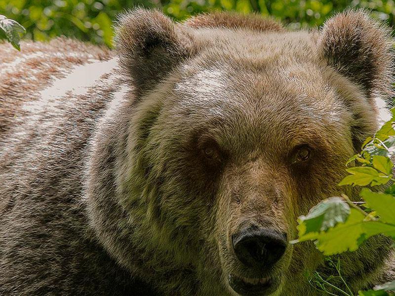 Osservare l'orso in natura, una suggestiva escursione in serata