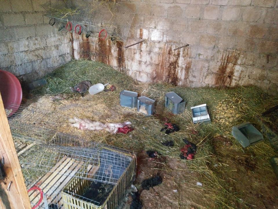 Altra incursione notturna dell'orso, ferisce gravemente un cane pastore abruzzese