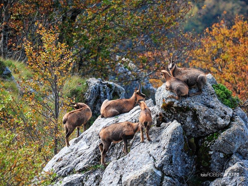 """Parco Nazionale d'Abruzzo: """"Ci sono 598 camosci"""""""