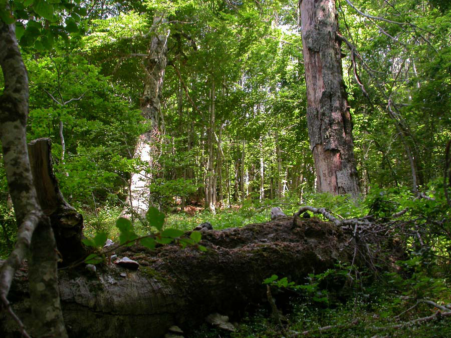 Le faggete del Parco Nazionale d'Abruzzo sono ora Patrimonio Unesco dell'Umanità