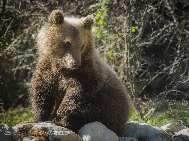 """Dalla Regione niente soldi per l'orso. L'associazione per la conservazione: """"Fondi per tutti tranne che per il simbolo dell'Abruzzo"""""""