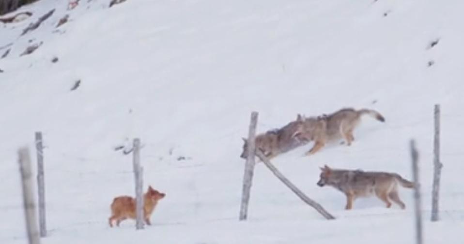 Un cane coraggioso si salva dall'attacco di tre lupi | VIDEO