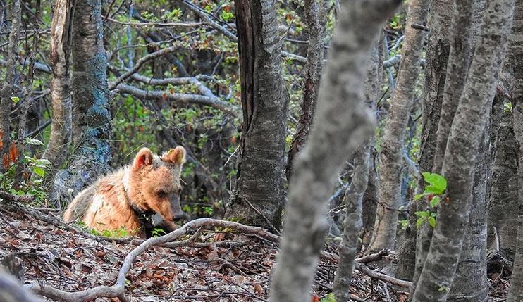 Parco, muore l'orsa Morena