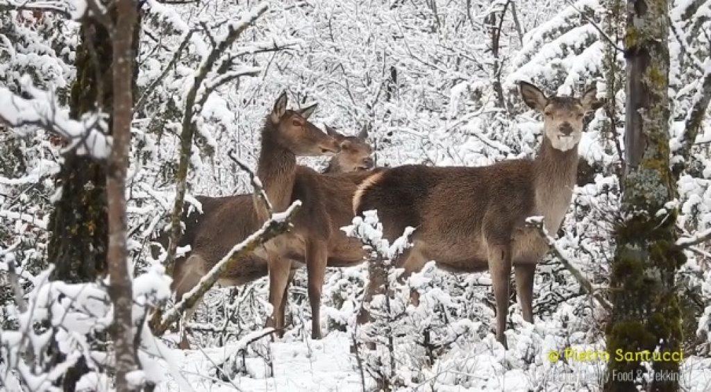 Abruzzo, come in una fiaba: i cervi nel bosco innevato