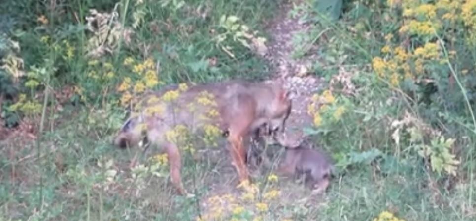 Cuccioli di lupo giocano con la mamma