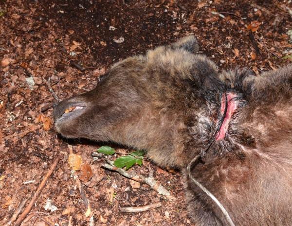 Il personale del Parco libera un'orsa da un cavo d'acciaio al collo