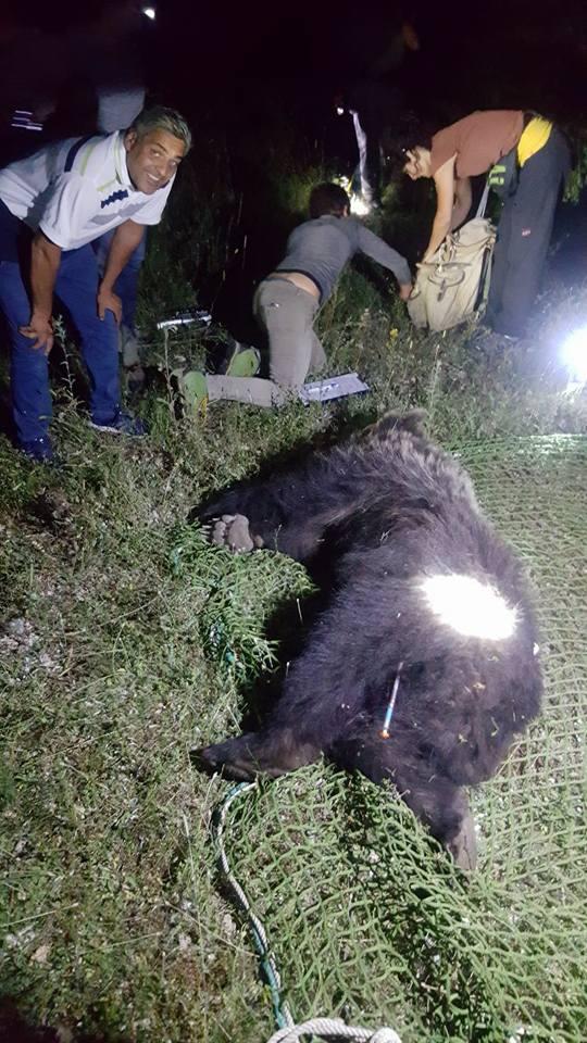Lecce nei Marsi, individuato un orso di circa tre anni. Sarà monitorato con un radiocollare
