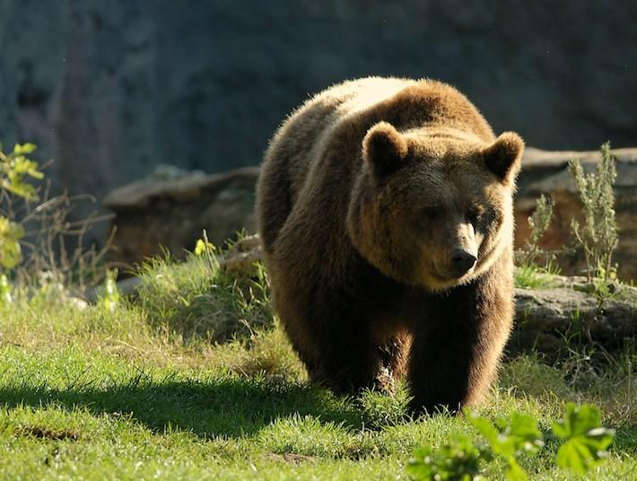La straordinaria storia genomica della residua popolazione di orsi marsicani