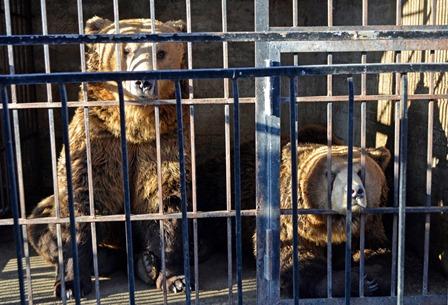 Parco Nazionale d'Abruzzo, arrivano Sonia, Piero e Leone, tre orsi albanesi salvati dalle gabbie