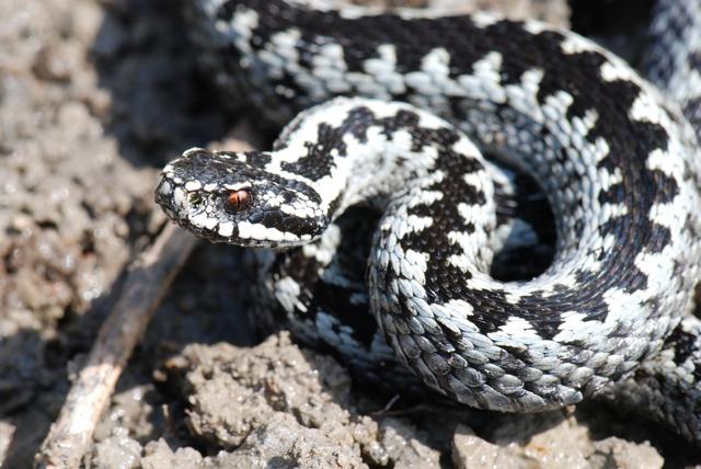 Le vipere ed altri serpenti delle nostre montagne: il mito e la realtà attuale
