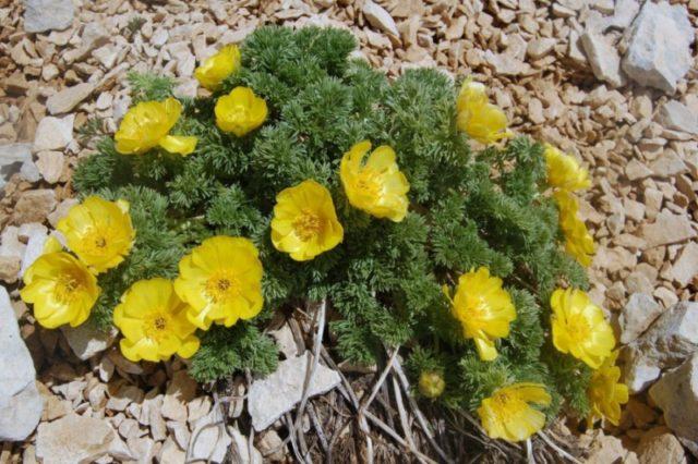 Scoperta una rarissima specie vegetale nel Parco Sirente Velino