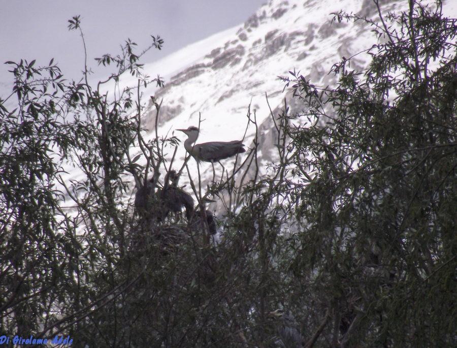 Torna l'Ora della Terra, il Wwf Abruzzo Montano sarà a Massa d'Albe per parlare di aironi