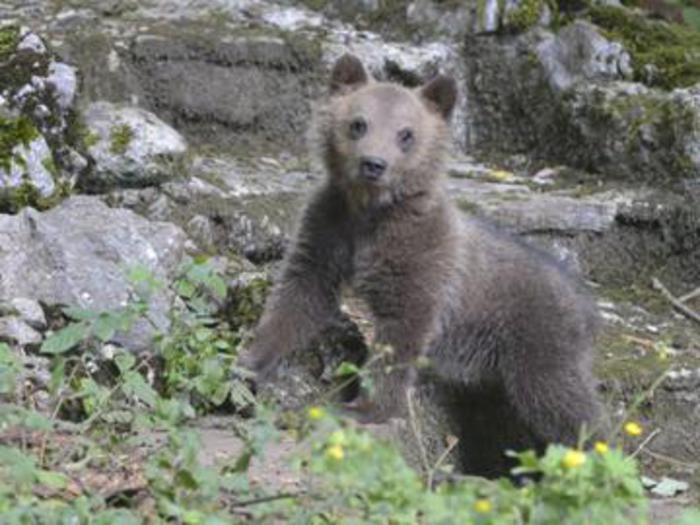 L'orsetta Morena morta per una malattia ai denti
