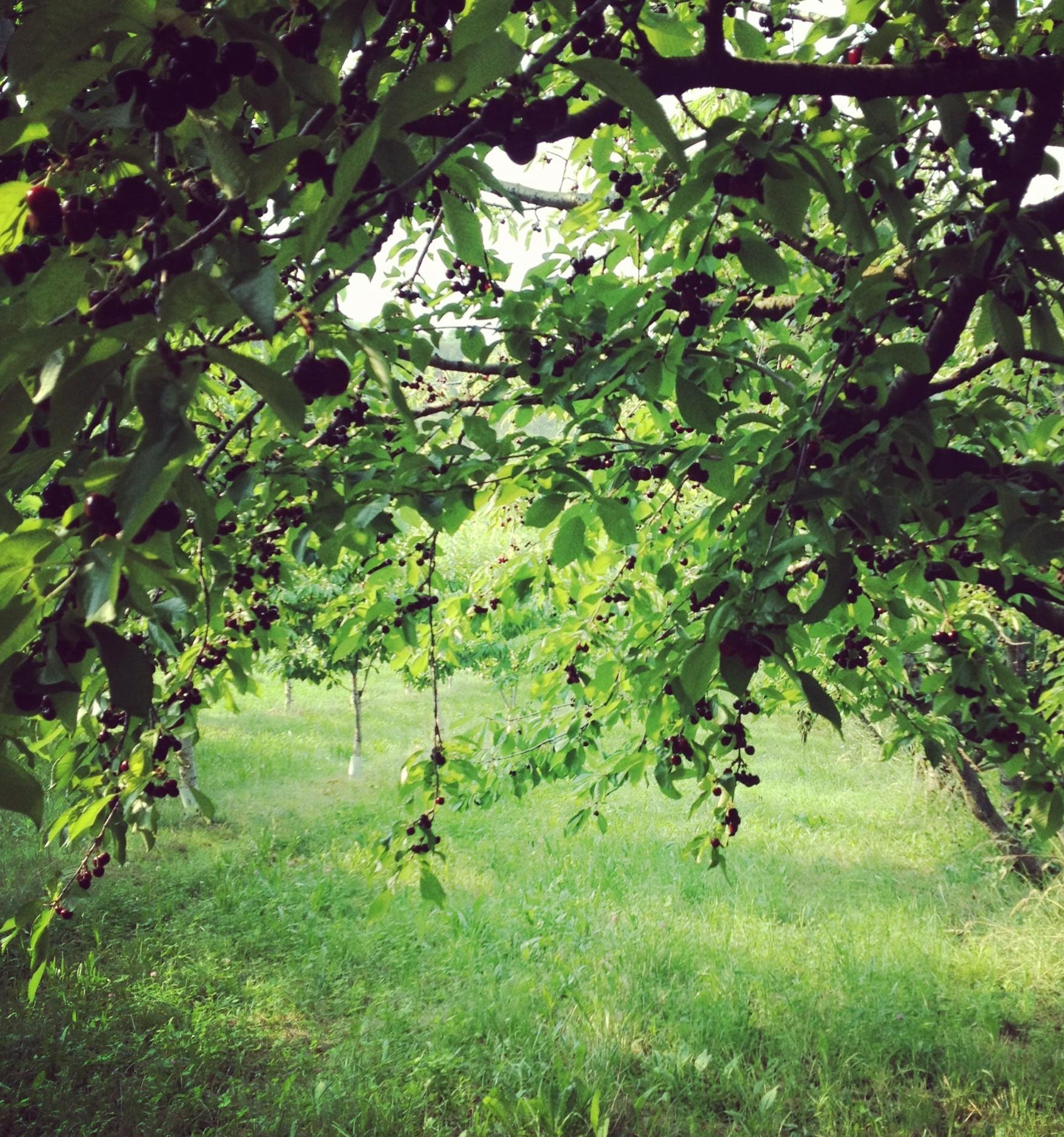 84enne cade dall'albero mentre raccoglie le ciliegie e muore dopo due giorni in ospedale