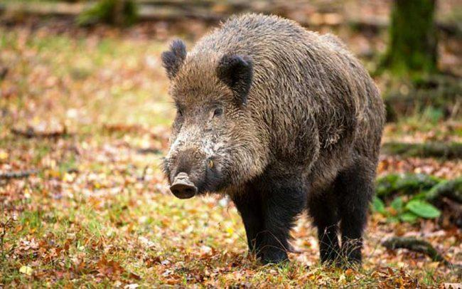 Danni da cinghiale: la caccia ne provoca l'aumento e non la diminuzione