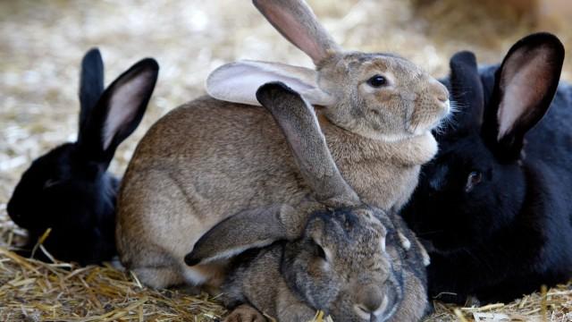 """Preso """"nel sacco"""" un ladro di conigli. Arrestato"""