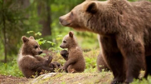 L'orso marsicano finisce su una prestigiosa rivista americana