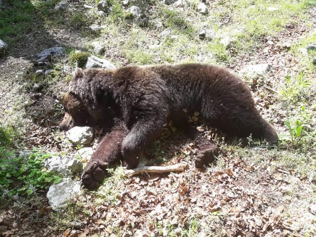Morto un orso marsicano a Campoli Appennino