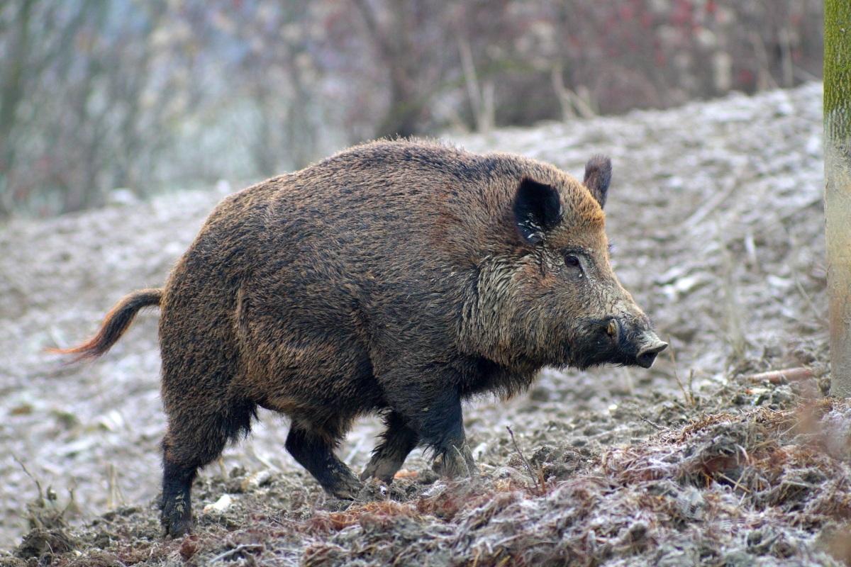 """Problematica """"Cinghiali"""", WWF: """"Togliere la gestione ai cacciatori e affidarla a esperti della fauna selvatica"""""""