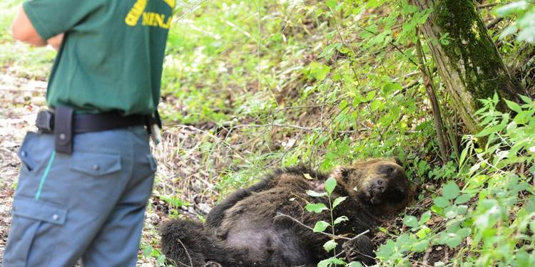 Si apre il processo per il bracconiere che nel 2014 uccise un orso marsicano