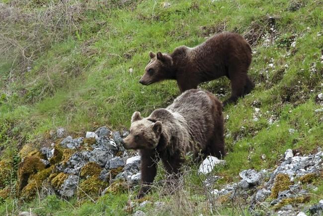 Campagna di vaccinazione canina a favore dell'orso Bruno Marsicano