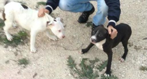 Attrezzi agricoli e cuccioli di pitbull rubati a Capistrello
