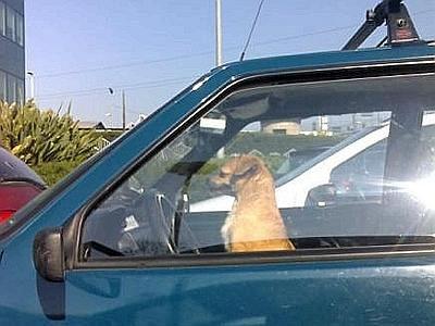 Cane preme il pulsante delle chiavi e rimane chiuso in macchina