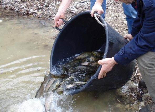 Al via il ripopolamento ittico. Immesse 17 mila piccole trote nei principali corsi d'acqua