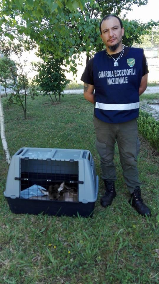 Cerbiatto salvato dall'aggressione di due cani randagi a Rosciolo