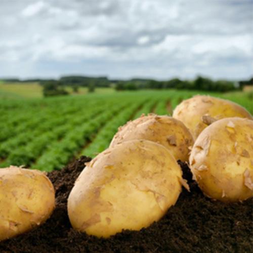 Patate del Fucino, fissati i prezzi per la vendita
