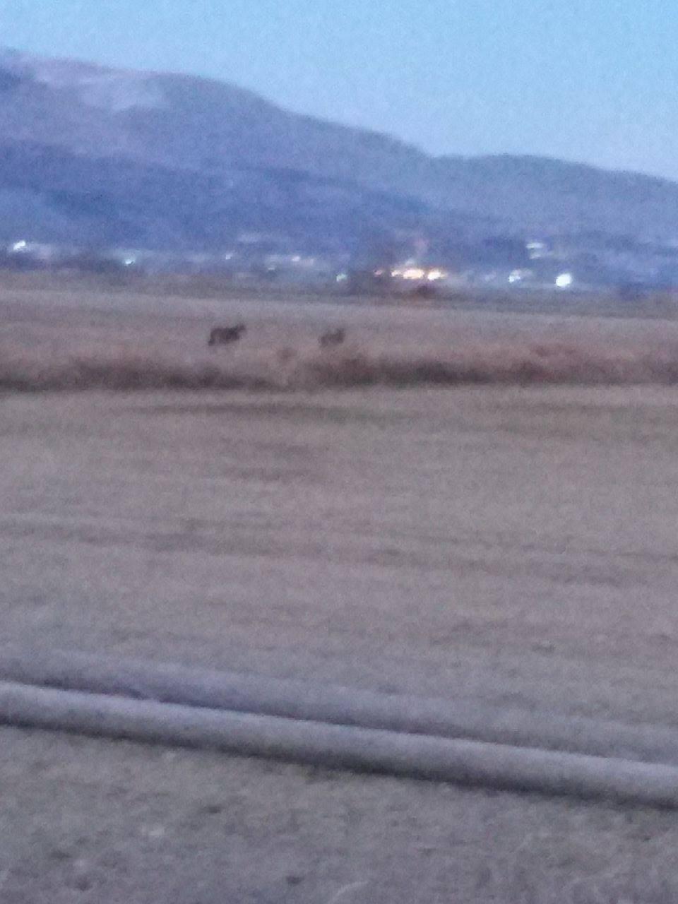 Paterno, avvistati due lupi in campagna