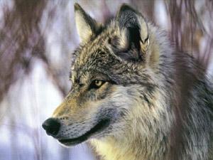 Piano Lupo: le Regioni rimandano la discussione e salvano il lupo