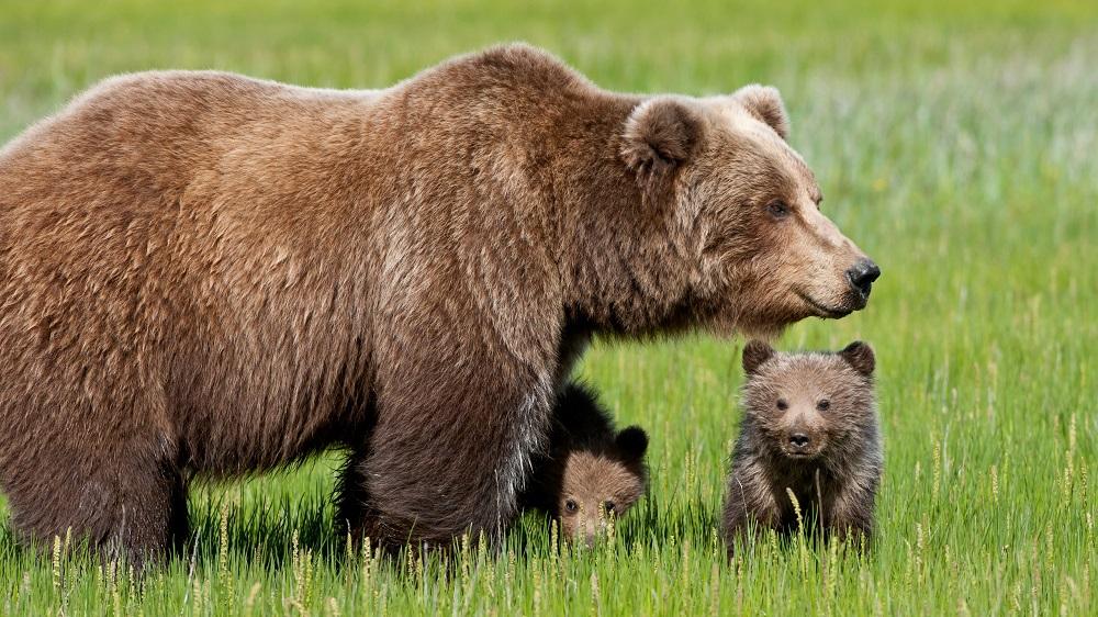 Curiosità sull'orso marsicano: intervista al Dottor. Igino Chiuchiarelli
