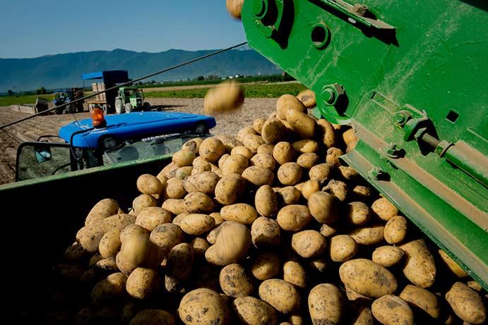 Campagna pataticola del Fucino, 27.000 tonnellate di prodotto certificato