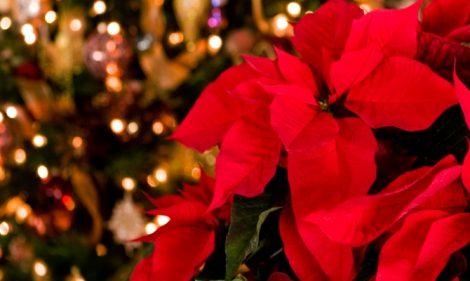 Significato Della Stella Di Natale.La Storia Della Stella Di Natale Terre Marsicane La Voce Della