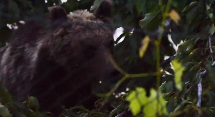 Video dell'Orsa Amarena che mangia le ciliegie arrampicandosi su un albero