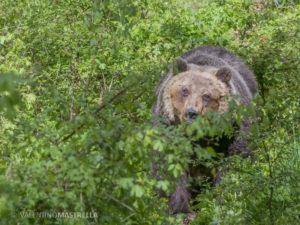 L'orsa Yoga, trasferita dall'area faunistica di Villavallelonga