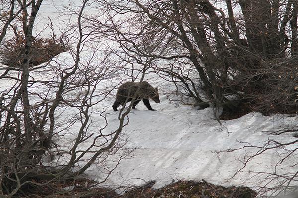 Orso Marsicano a spasso sulla neve del Parco, spunta il video