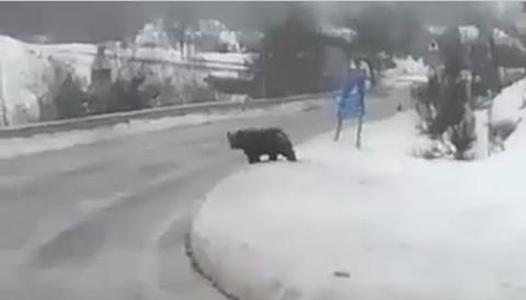 L'orso Marsicano che non va in letargo, una nuova attrazione nel Parco