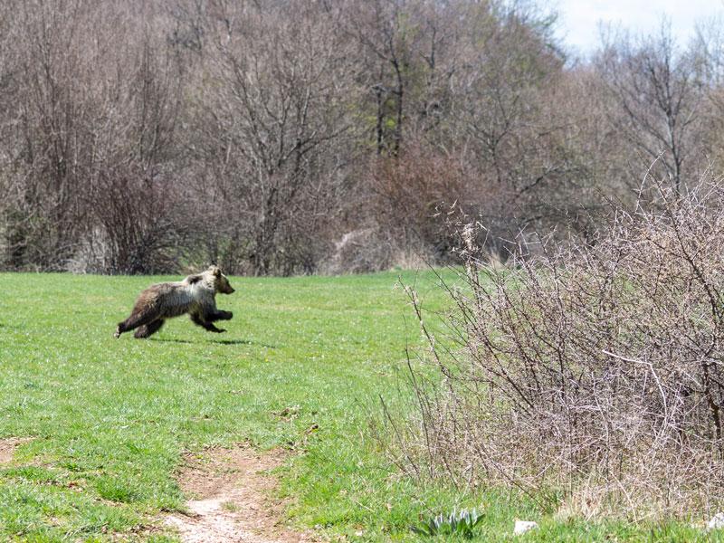 Sono 11 i cuccioli di orso marsicano contati nel 2018 nel Parco