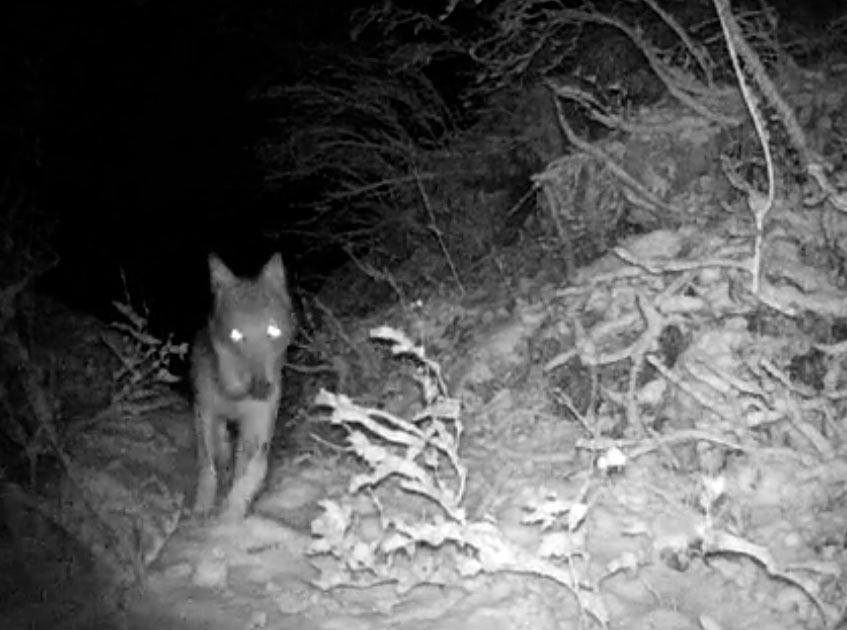 Lupi, caprioli e volpi in prossimità del paese: un video spettacolare ne documenta la presenza